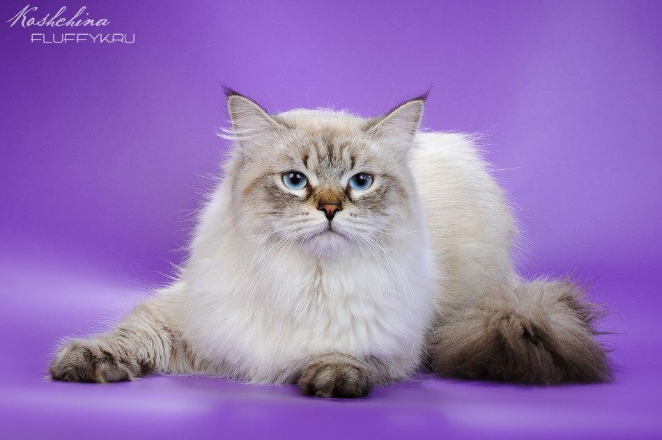 невский маскарадный кот Жан-Поль Лазоревый Яхонт