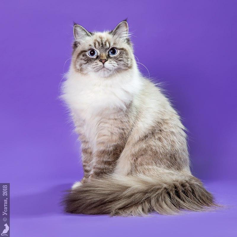 невская маскарадная кошка  Северный Ноктюрн Ария