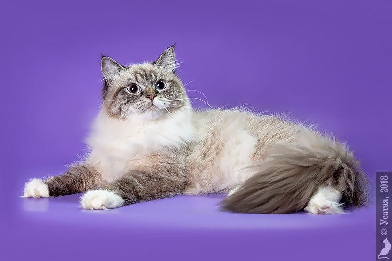 Сибирская кошка Рязань