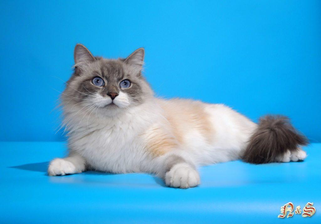 невская маскарадная кошка Чародейка Серебристый Иней